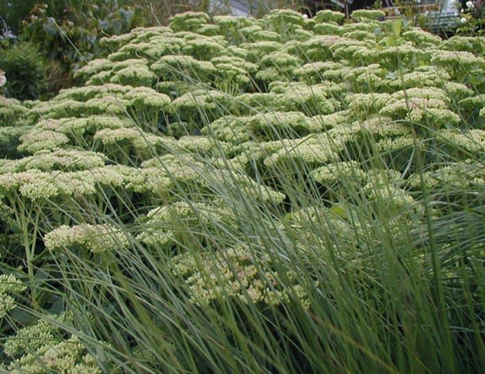 gartentipp garten im winter pennisetum