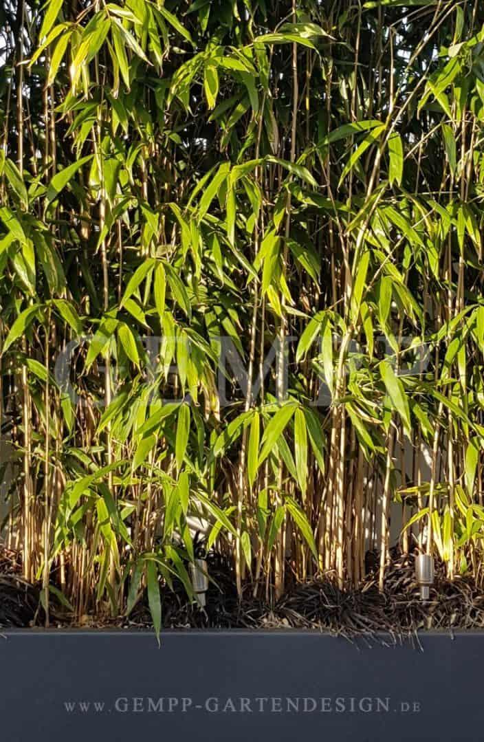 Bambus als Sichtschutz im Garten | GEMPP GARTENDESIGN