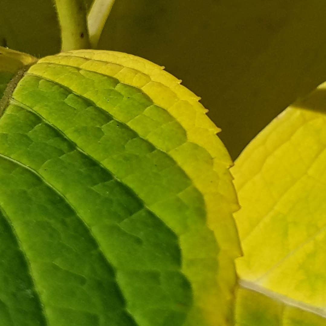 Herbstfärbung im Garten: Hortensien